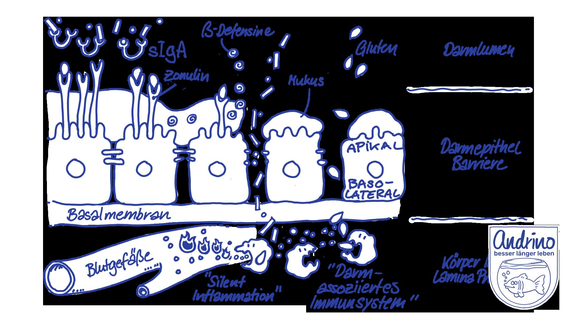 Aufbau der Darmschleimhaut und die Wirkung von stillen Entzündungen und des Darm-assoziierten Immunsystems