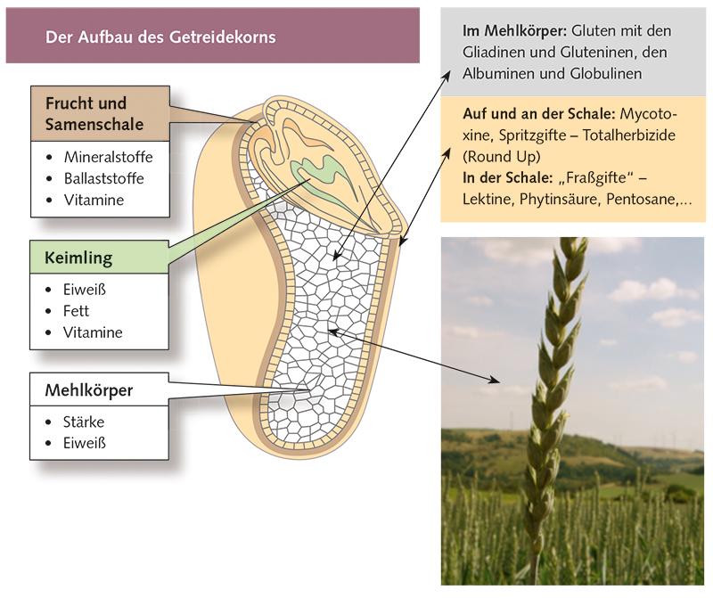 Der Aufbau des Getreidekorns