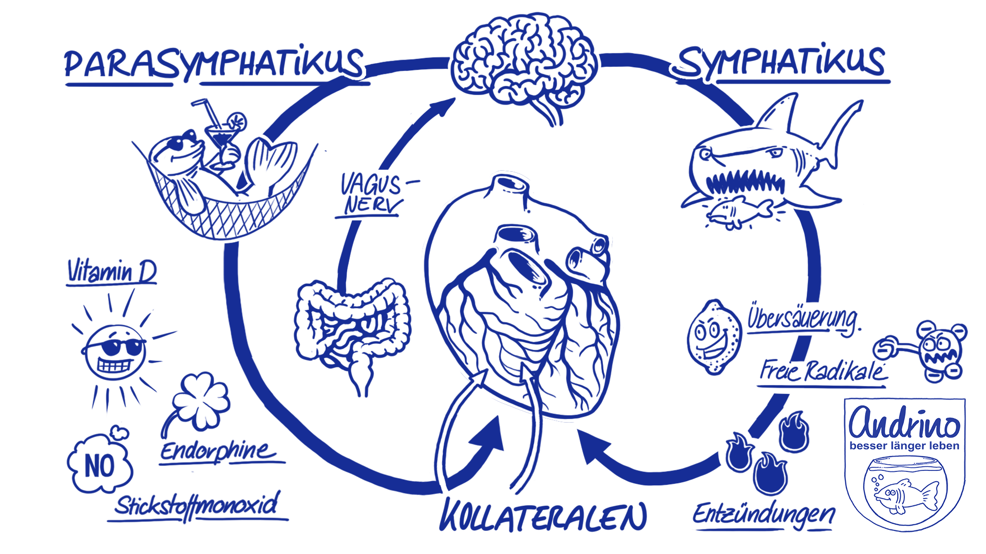 Steuerung des Herzens durch das vegetative Nervensystem