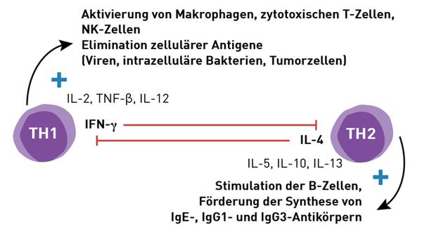 Funktion TH1-TH2-Helferzellen